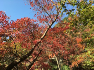 快晴のもと紅葉を楽しみます