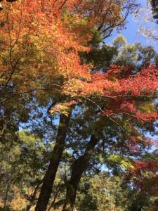 色づいている紅葉