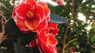 ののいち椿館で野々市市の花木「椿」を愛でる〜ののいち椿まつり/石川