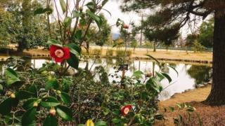 野々市中央公園の「椿山」で椿を愛でる/石川