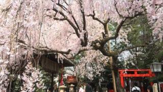 小さな境内で立派な紅しだれに包まれる「水火天満宮」/京都