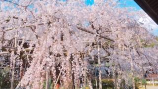 春の「毘沙門堂」〜樹齢150年を超えるしだれ桜がとても綺麗♪