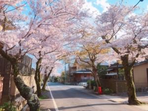 毘沙門堂までの道沿いの桜