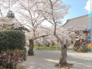 境内すぐに桜があります