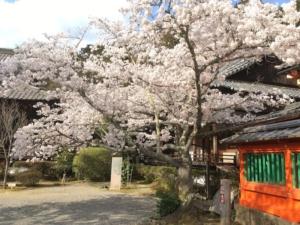 透塀の横に桜