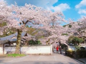 駐車場へ向かうところも満開の桜