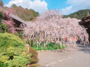 樹齢150年を超えるしだれ桜