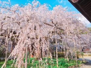 しだれている枝垂れ桜
