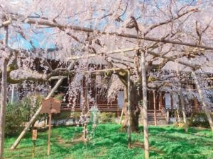 桜の奥には宸殿も見えます