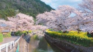 山科「琵琶湖疏水」で春の最強コンビ「桜×菜の花」を愛でる!