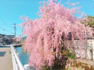 枝垂れ桜が満開でした
