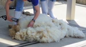 横になって毛を刈られる羊のもこちゃん