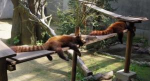 眠りにつく二匹のレッサーパンダです