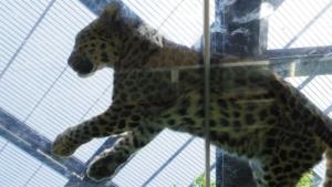 天井のガラス越しに寝るヒョウです