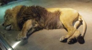 地面で寝ているライオンです