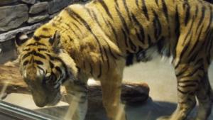 大きなトラです