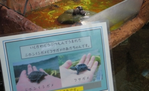 水槽の中に小さな赤ちゃんガメが二匹います