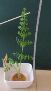 23cmのにんじんの葉