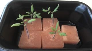 スーパーで買った野菜から種を採取→発芽!超簡単な催芽まき♪