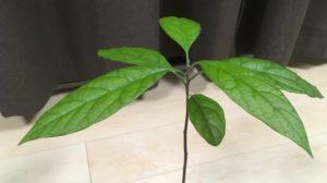 健康的なアボカドの葉っぱ