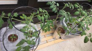 水耕栽培で成長を続けるミニトマトの写真