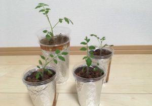 プラカップを利用して植えたミニトマトの写真です