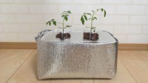 タッパーを加工した容器に植え替えたミニトマト
