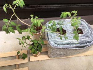倒れかかりつつ大きく育ったミニトマトです。