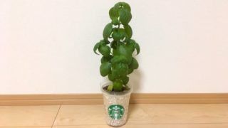 【水耕栽培】バジルをスタバカップで育てます!種まき〜収穫まで