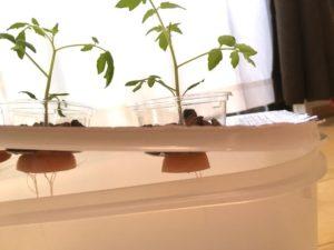 タッパーにきちんとトマトの幼苗カップがセットされています