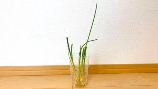 【リボベジ】野菜の切れ端を再生させる!〜薬味ねぎ編