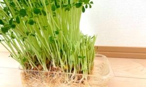 一部収穫したリボ豆苗