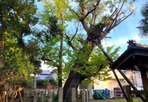 布市神社にある立派な大公孫樹