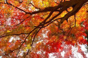 頭上に広がる紅葉