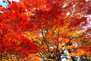 立派な木の紅葉