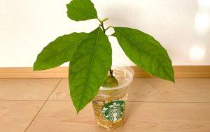 小さい状態で葉っぱをつけたアボカド