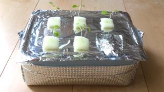 【水耕栽培】葉物野菜を一気に育てる!中型タッパーで水耕栽培