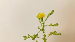 サニーレタスの花をアップで撮影