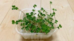 ブロッコリースプラウトの水栽培