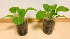 チンゲン菜の成長