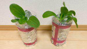 スポンジプラカップ水耕栽培のチンゲン菜