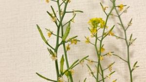 青梗菜の採種