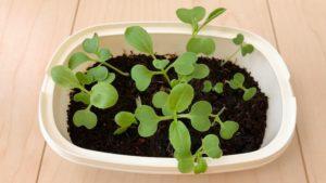 青梗菜がたくさん発芽