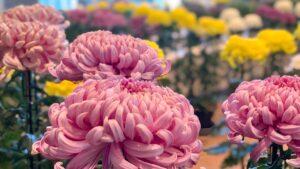 満開の菊の花