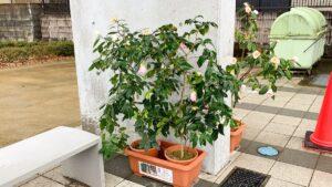 椿の鉢植え