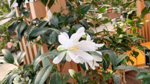 花びらが細長い小白竜という椿