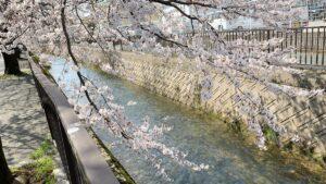 御経塚の川沿いで花見