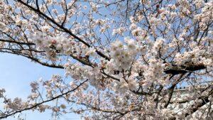ほとんど開花した桜も