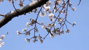三和の雀と桜