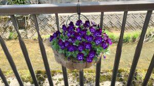 満開の紫パンジー
